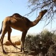 Camels eat from tree in oasis in the desert - Stock Photo