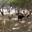 Stock Video: Goats and camels in oasis in Negev desert in Israel
