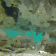 Fish feeding frenzy swim and eat underwater in fresh water river time lapse — Stock Video #23081408