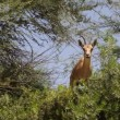 Stock Video: NubiIbex- Capribex nubiana
