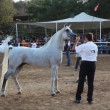 Handler shows off his fine Arabian horse during the national championship - Stock Photo
