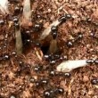 Winged ants before their bridal flight - Stock Photo