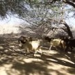 Goats in oasis in the Negev desert in Israel - Stock Photo