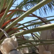 Canopying in the date palm tree Phoenix dactylifera — Stock Video