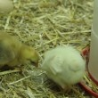 Young chicken chicks in hatchery - Stock Photo