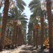 Canopying in the date palm tree Phoenix dactylifera — Vídeo de stock