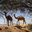 Camels eat from tree in oasis in the desert — Vídeo de stock