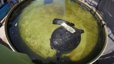 Cripple turtle at the Israel Sea Turtle Rescue and Rehabilitation Center — Stock Video