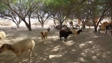 Goats and camels in oasis in the Negev desert in Israel — Stock Video
