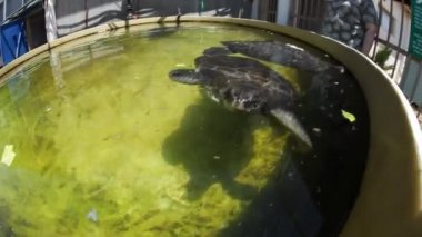 Turtle at the Israel Sea Turtle Rescue and Rehabilitation Center, Michmoret — Stock Video #23080816