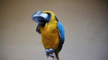 Sevimli renkli papağan — Stok video