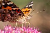 Moth Face — Zdjęcie stockowe
