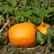 Pumpkin on vine — Stock Photo #13742468
