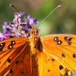 Stock Photo: Gulf fritillary