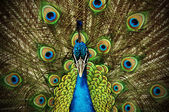 Grand Peacock — Stock Photo