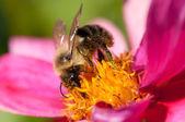 Bee 017 — Stock Photo