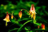 Sarkık columbine — Stok fotoğraf
