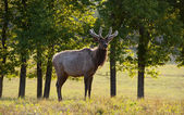 Morning Elk — Stock Photo