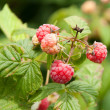 Raspberry — Stock Photo #27742961