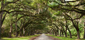 Live Oak Tunnel — Stock Photo