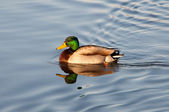 Mallard Duck — Stock Photo