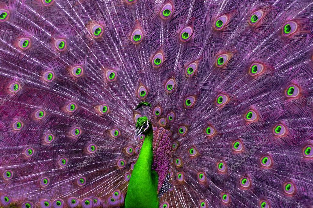 绿色和紫色的孔雀– 图库图片