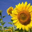 Yellow sunflowers and blue sky — Stock Photo