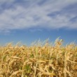 Yellow corn  field with blue sky - Stok fotoğraf