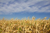 Yellow corn field with blue sky — Stok fotoğraf