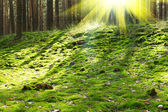 Old forest in the morning sun — Stock Photo