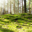Stock Photo: Old forest in morning sun