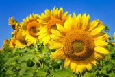 Yellow sunflowers staying in a row and blue sky background — Stock Photo