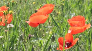 Poppies field in sun rays — Vídeo Stock