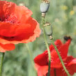 Stock Video: Poppies field in the wind