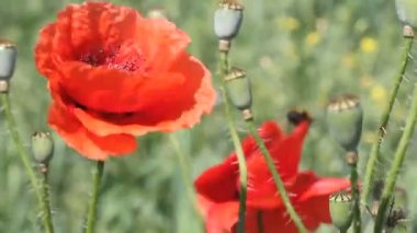 Poppies field in the wind — Stock Video