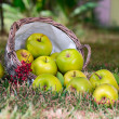 Apples in the basket — Stock Photo #13838331