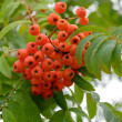 Red rowan berries on a tree - Stock Photo