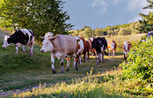 Cows grazing on a green summer meadow at sunny day — Stok fotoğraf