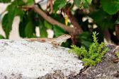Lizard on a rock — Stock Photo