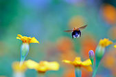 Flight of a Bumble Bee — Stock Photo