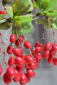 Branch barberry — Stock Photo