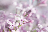 Lilac tenderness — Stock Photo