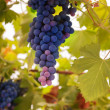 Ripe grapes — Stock Photo #13276138