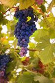 Ripe grapes — Stock Photo