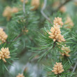 Pine cone — Stock Photo #25237185
