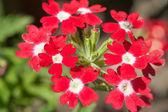 Flores de phlox no jardim — Foto Stock