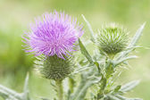 Thistle flower — Stock Photo
