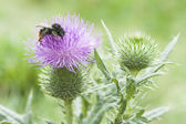 Burr And Bee — Stock Photo