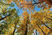 Sun shining through autumn treetops — Stock Photo