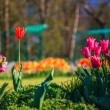 Beautiful park in spring with tulip flowers blossoming. — Stock Photo #27975247